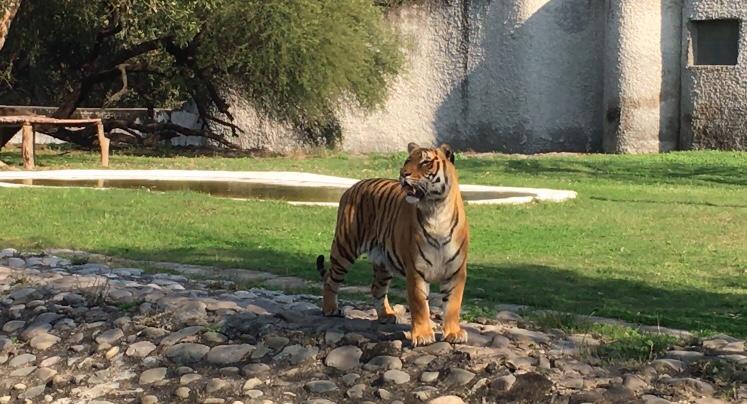 Tiger in Chhatbir Zoo